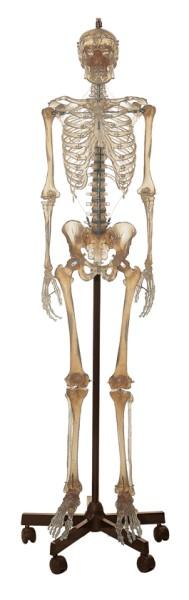 Künstliches transparentes Homo-Skelett