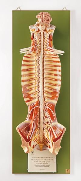 Rückenmark mit Wirbelkanal