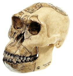 Schädelrekonstruktion von Homo habilis