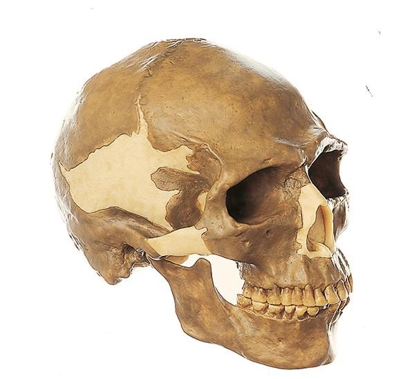 Schädelrekonstruktion von Homo sapiens