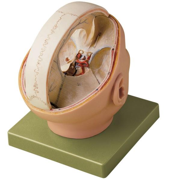 Modell der Duraverhältnisse