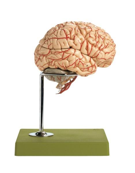 Gehirn mit Arterien