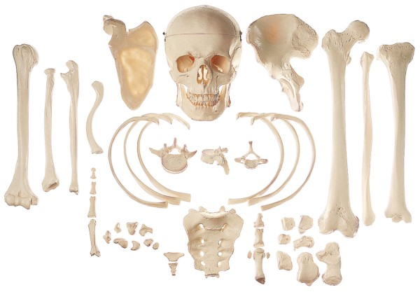 Sammlung typischer Knochen vom Menschen