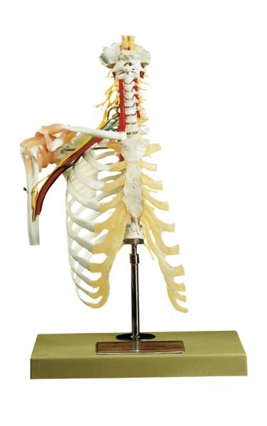 Halswirbelsäule mit Schultergürtel