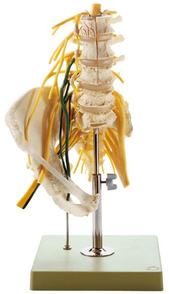 Lendenwirbelsäulenmodell mit Nerven