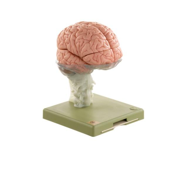 15-teiliges Gehirnmodell
